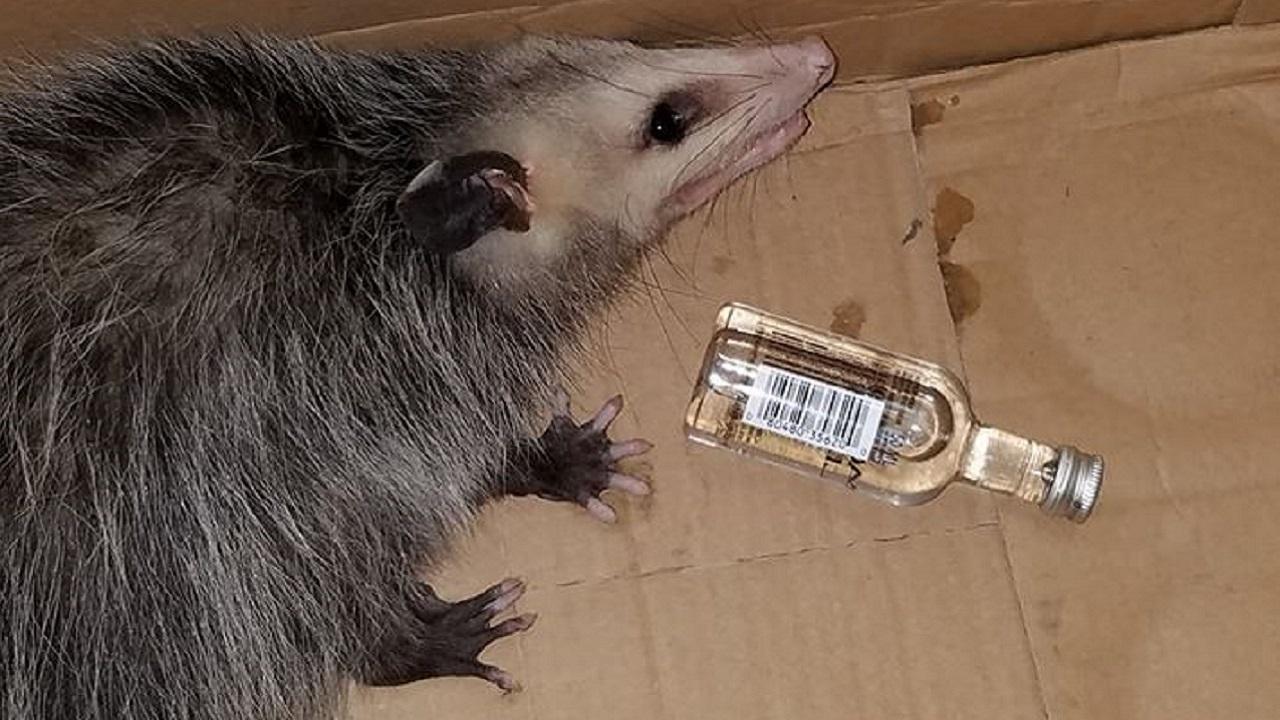 Florida Possum Breaks Into Liquor Store, Gets Drunk