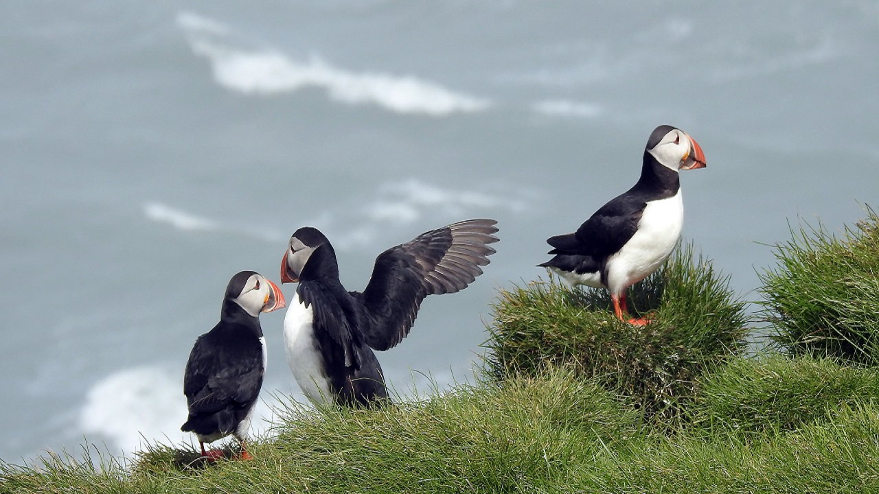 Porgs, Your Favorite New Star Wars Creature, Are Just Puffins They Couldn't Scare Off