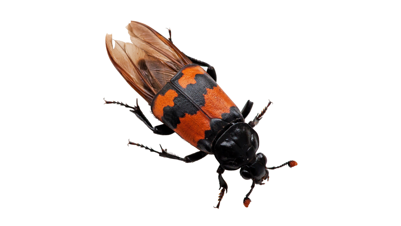 Parents Even Worse Than You: Burying Beetles