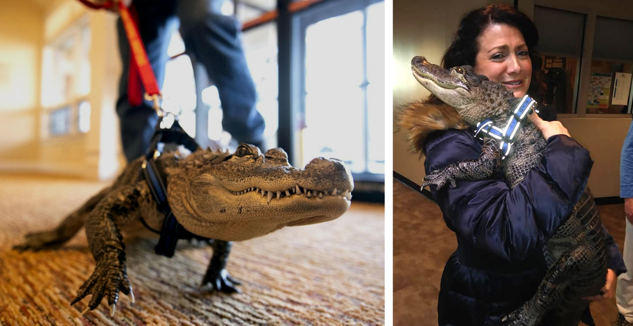 Wally, the Emotional Support Alligator Who Helps Kids and Seniors [WATCH]