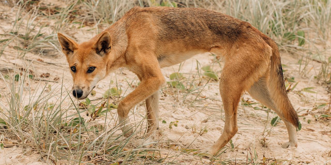 Dingo Tries to Snatch Kid