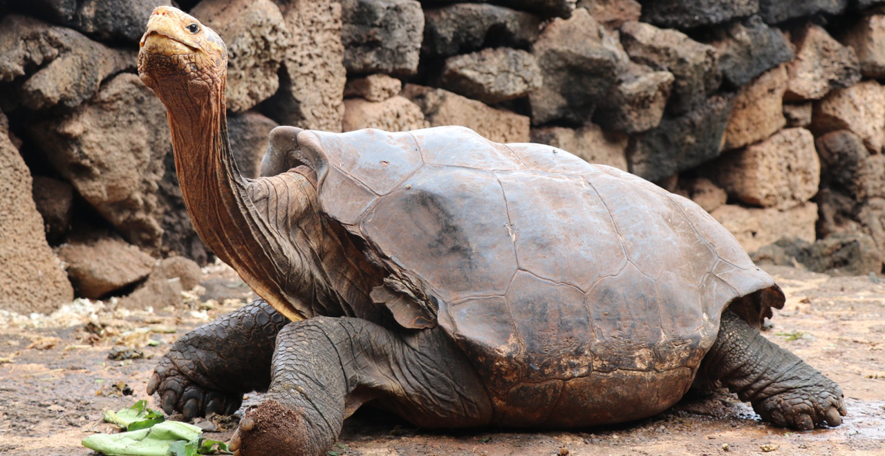 100yr Old Hero Turtle Saves Species
