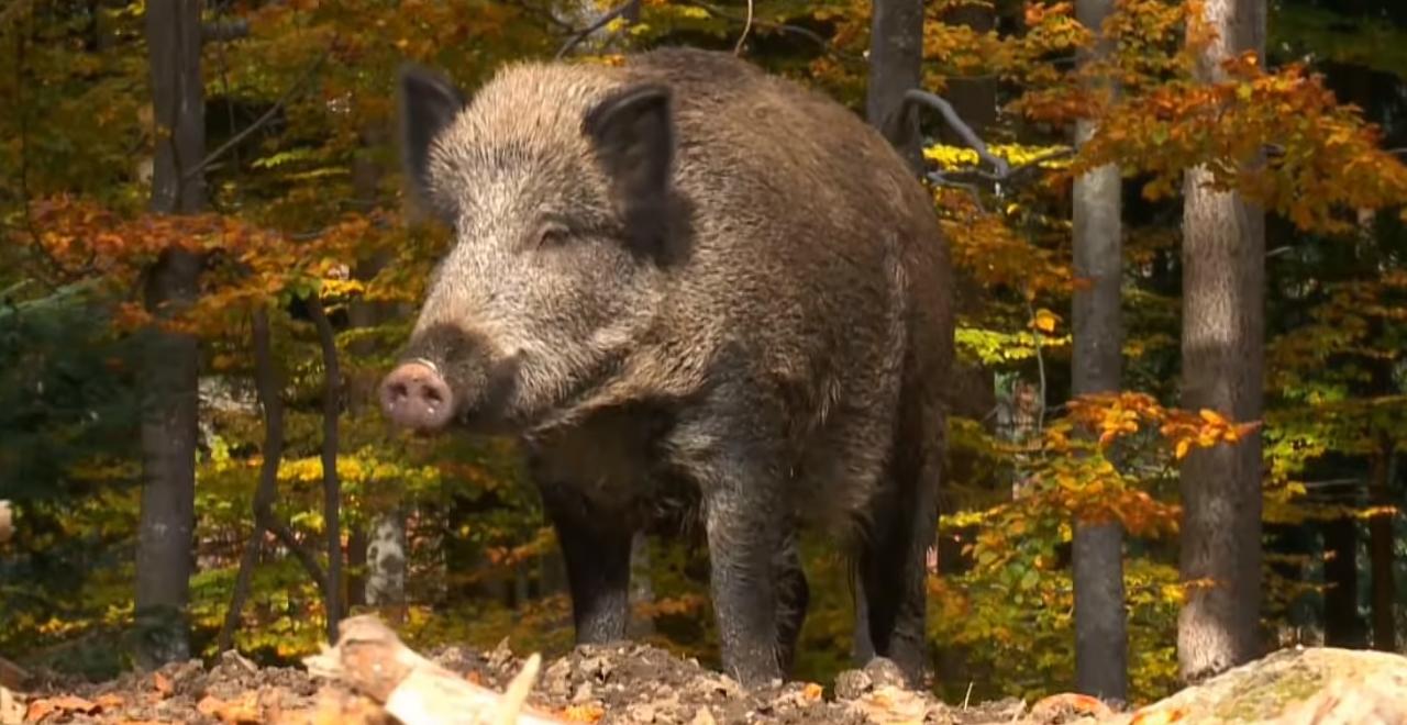 Super-Pig Population