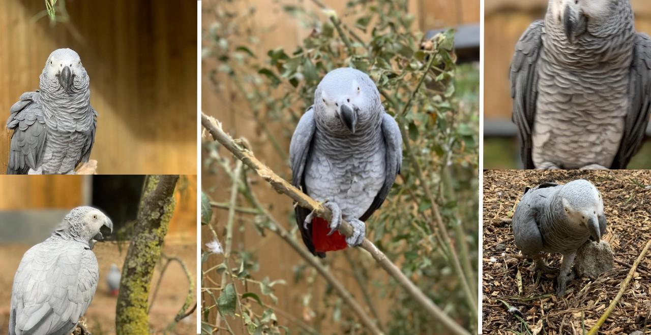 Swearing Parrots