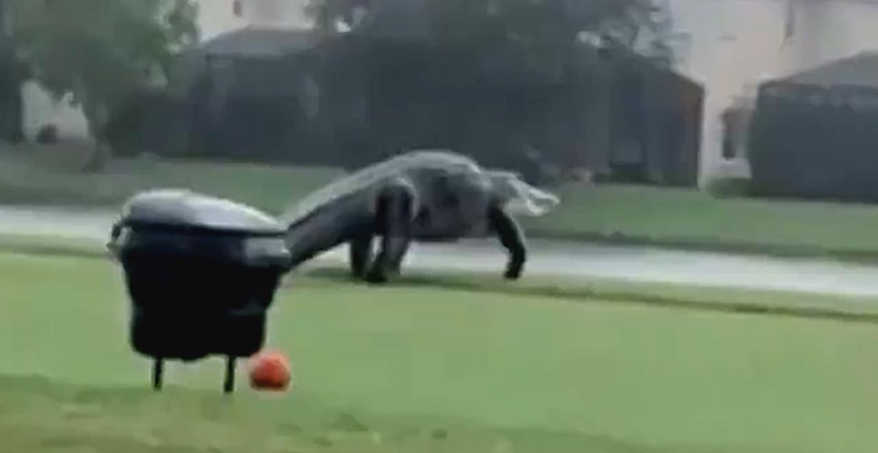 Giant Gator Takes a Stroll