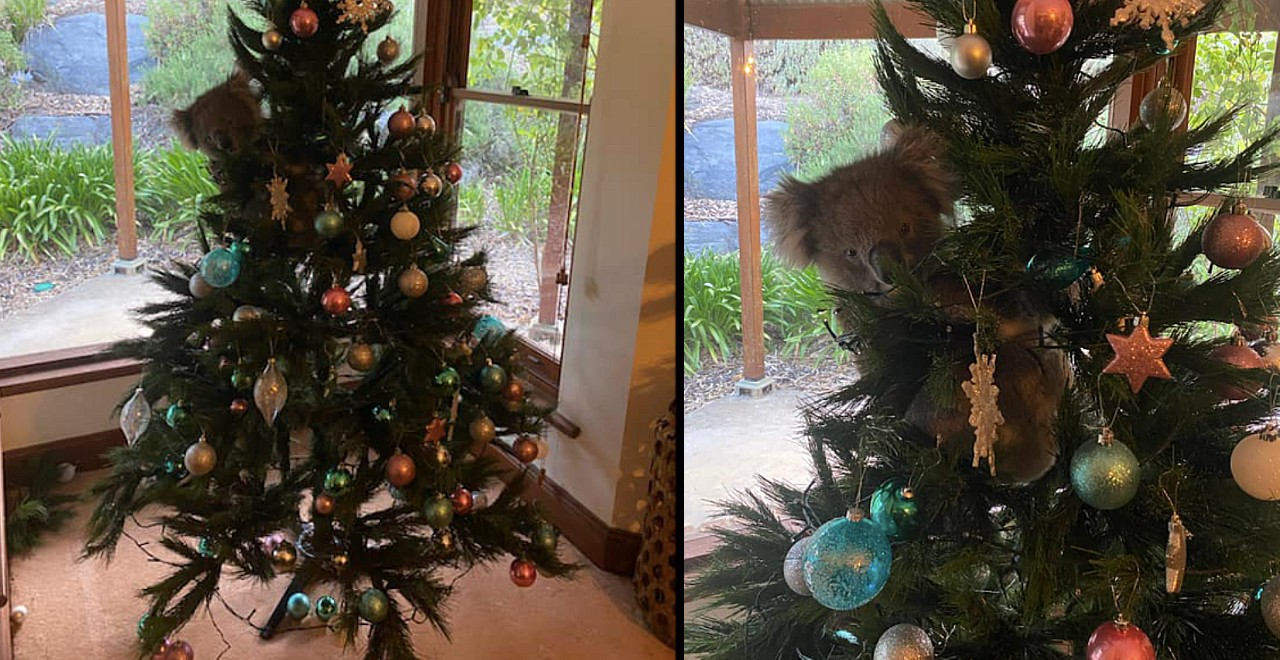 Koala breaks into home and chills in Christmas tree