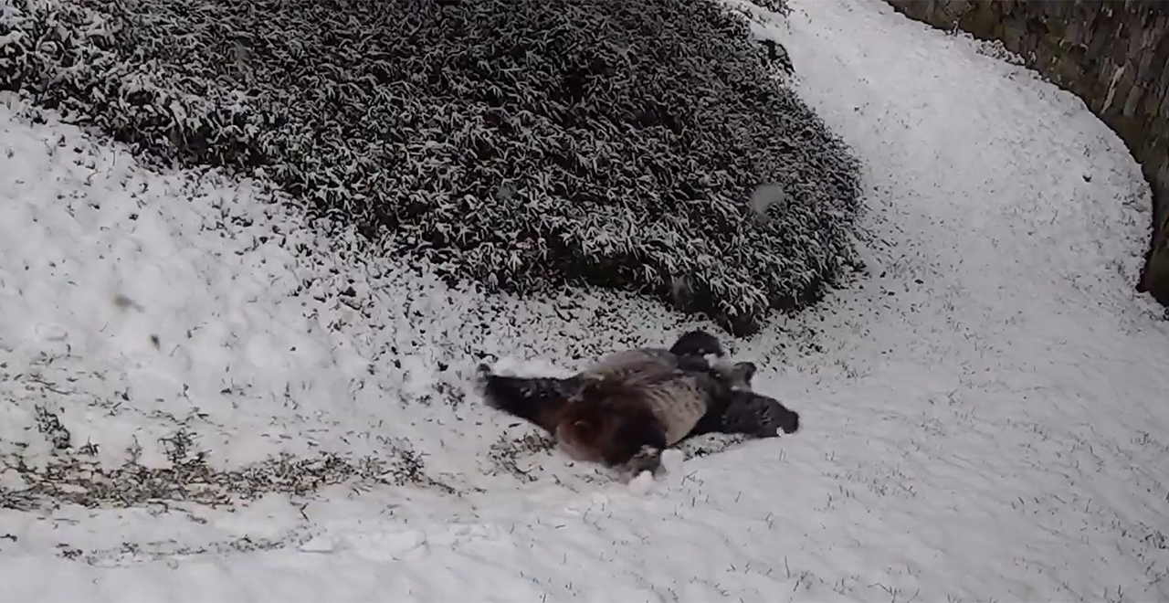 Pandas Enjoying Snow Day