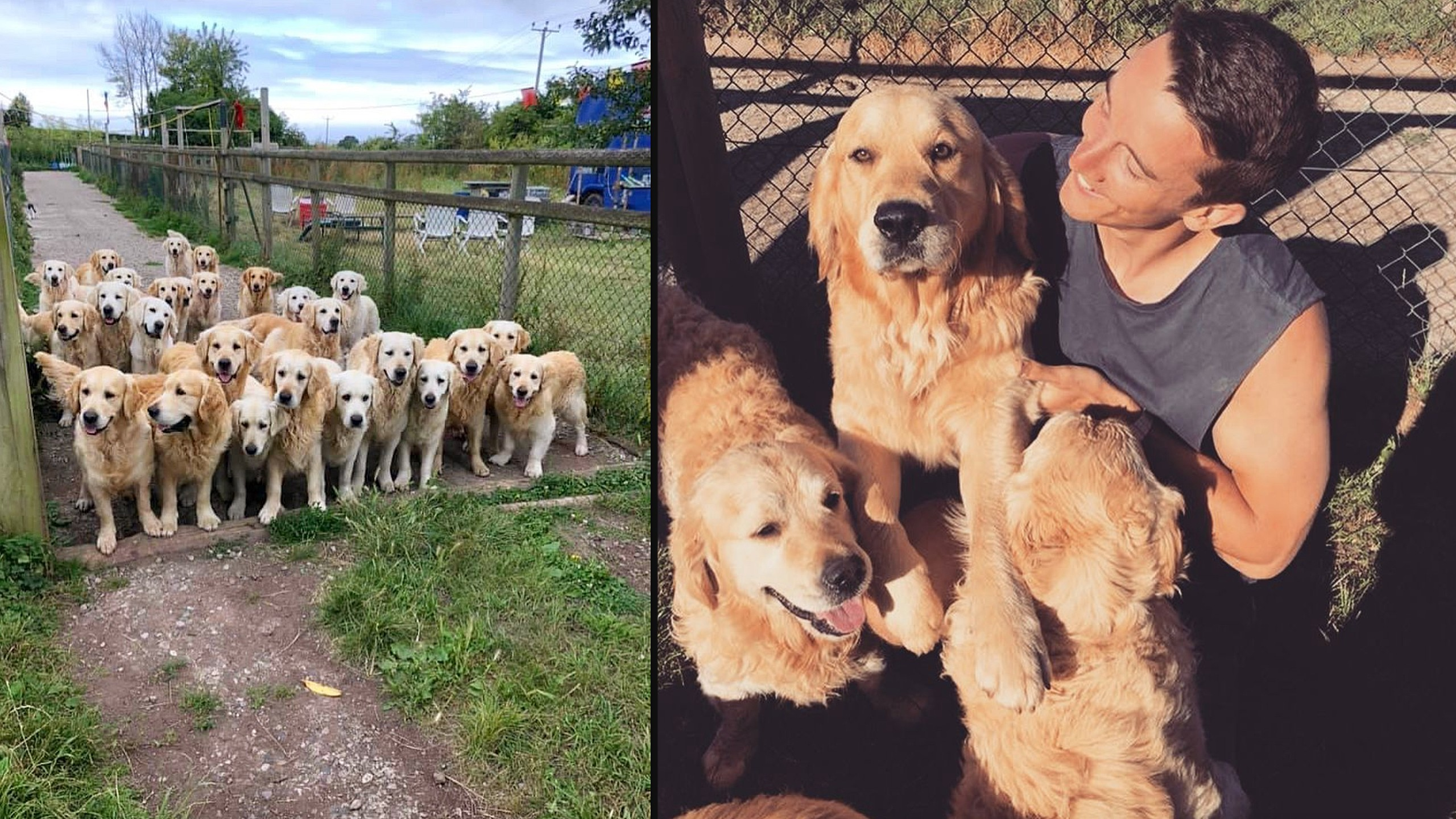 Soak up some puppy love at the Golden Retriever Experience