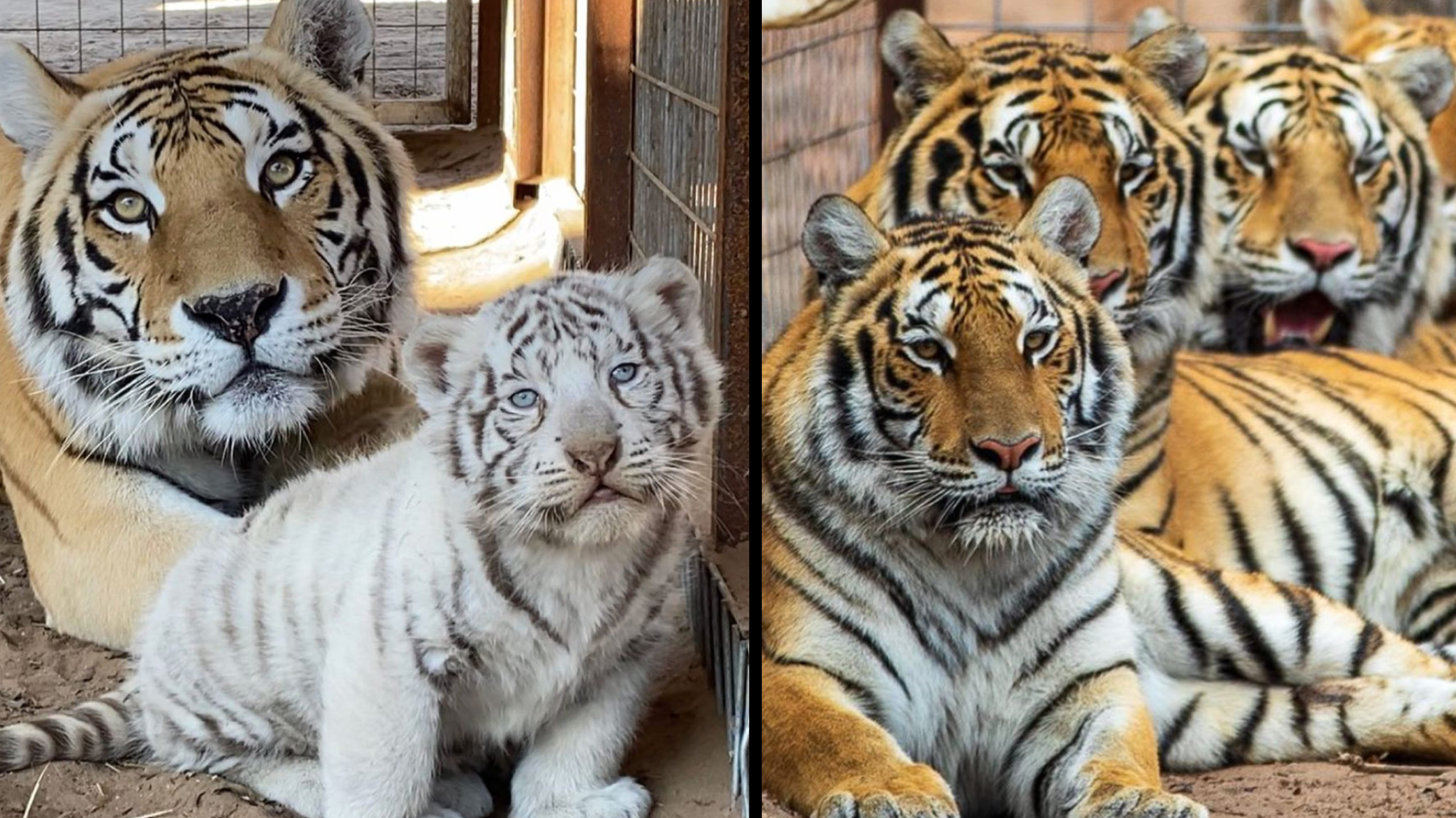 Tiger King Park Cats Seized
