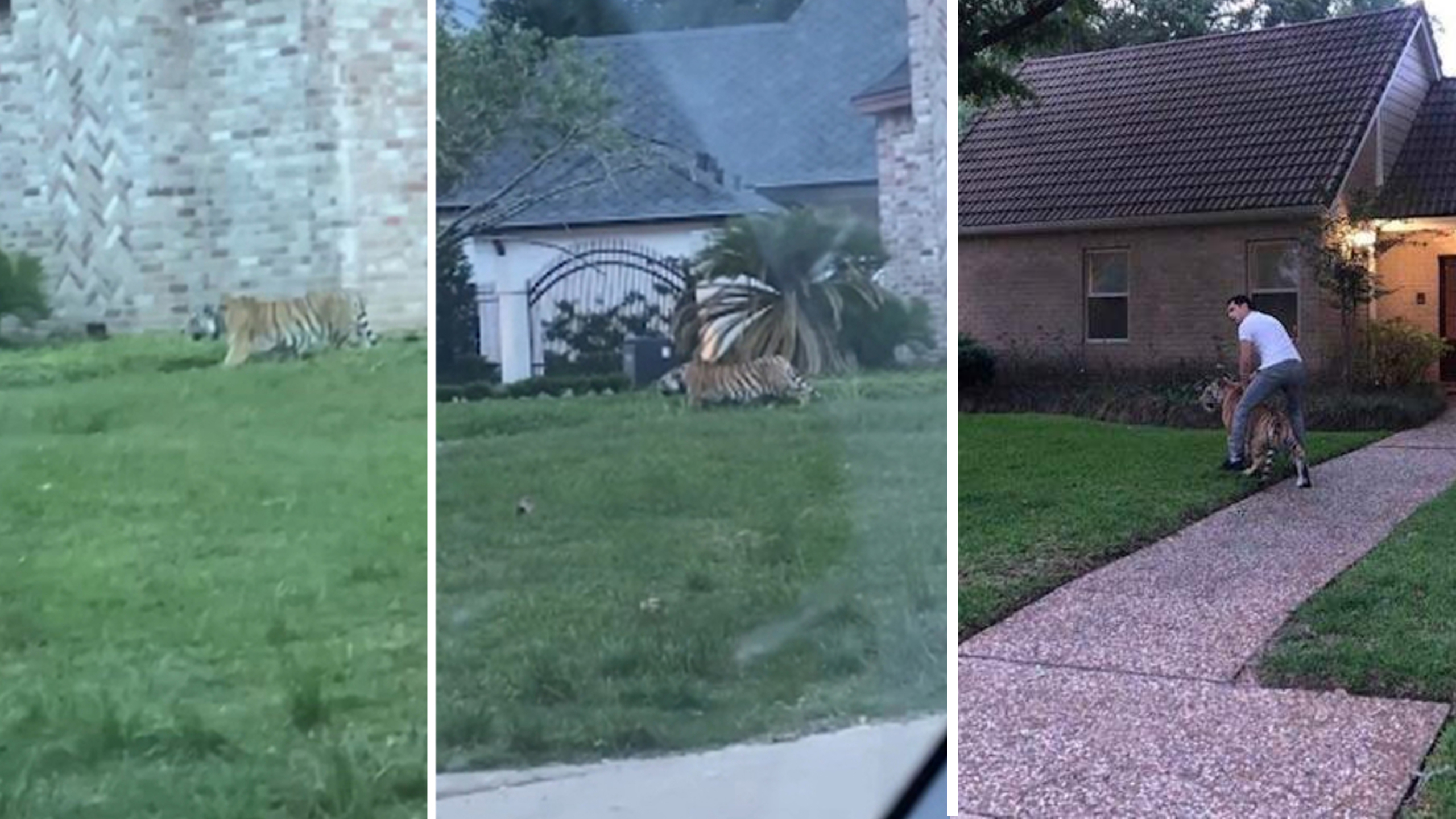 Tiger on the loose in texas