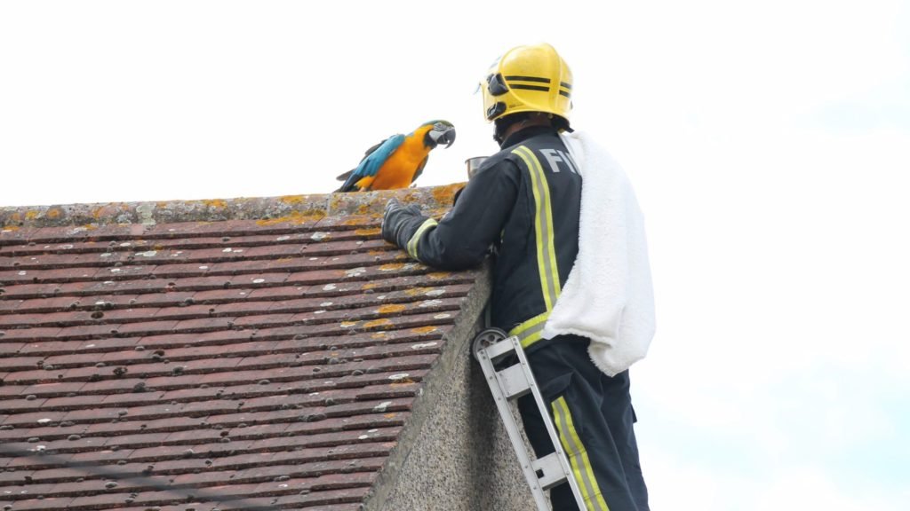 Parrot stuck on roof tells rescuer to f*ck off