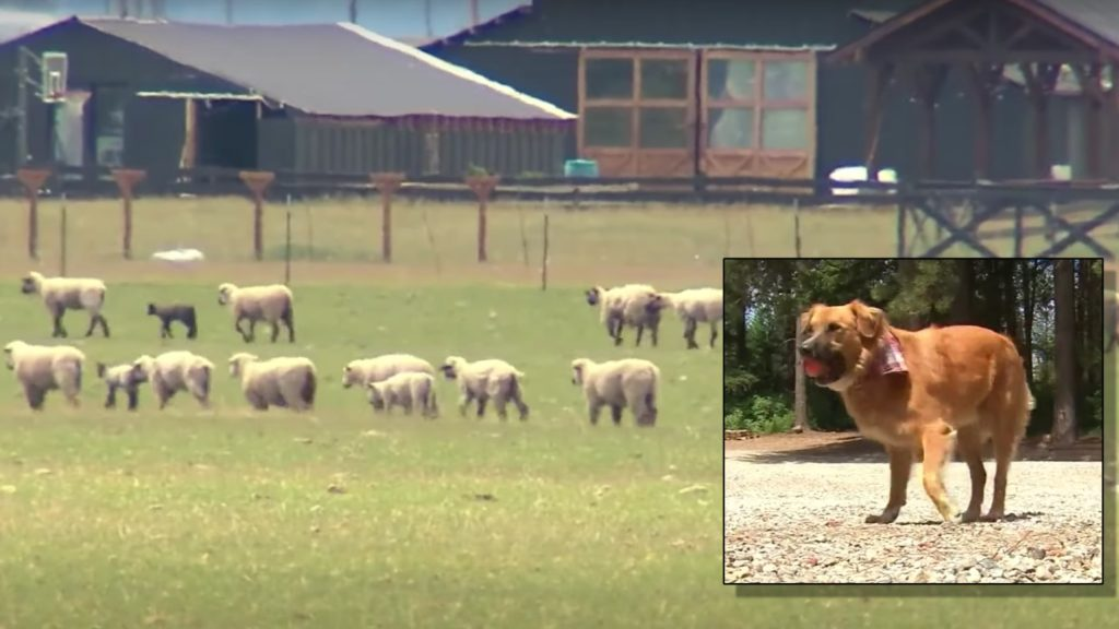 Dog found herding sheep on farm after car accident