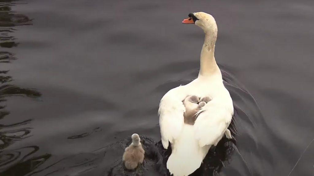 Single dad swan raises babies alone after mom swan dies