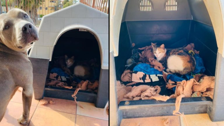 Pit bull invites stray cat to give birth in his dog house